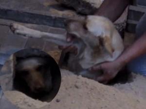 Bạn trẻ - Cuộc sống - Clip giải cứu chó mang thai sau 2 ngày bị chôn sống