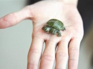 Phi thường - kỳ quặc - Video: Xem rùa 2 đầu rất khỏe và phàm ăn