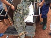 Tin tức trong ngày - CA truy tìm nguồn gốc cá sấu bắt được ở hồ câu nổi tiếng HN