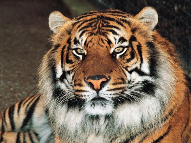 Hổ tấn công đến chết nhân viên vườn thú ở Tây Ban Nha