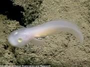 Thế giới - Phát hiện loài cá 'ma' bí ẩn dưới biển sâu