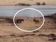 Phi thường - kỳ quặc - Video: Hà mã con dũng cảm đánh đuổi sư tử bảo vệ mẹ