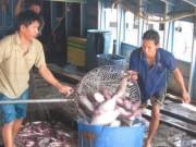 Thị trường - Tiêu dùng - Kiểm tra 100% cá tra xuất sang Mỹ