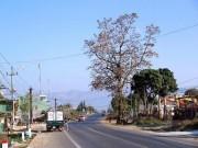 Tin tức trong ngày - Uốn đường quốc lộ để giữ cây gạo cổ thụ theo ý dân