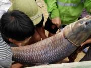"""Tin tức trong ngày - Thái Nguyên: Bắt được cá trắm """"khủng"""" nặng 52kg"""