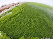 Phi thường - kỳ quặc - Ảnh: Tảo sinh sôi đột biến, phủ xanh lè bờ biển ở TQ