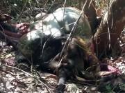 Tin tức trong ngày - Khởi tố cả 3 cha con vụ bắn chết bò tót