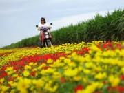 Du lịch - Choáng ngợp đường hoa mười giờ rực rỡ nhất Việt Nam