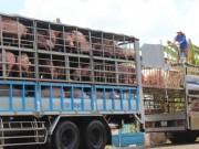 Thị trường - Tiêu dùng - Trung Quốc giảm mua, giá lợn hơi rớt mạnh