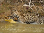 Phi thường - kỳ quặc - Cận cảnh báo gấm xuống sông hạ gục cá sấu ở Brazil