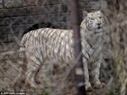 Phi thường - kỳ quặc - TQ: Bị hổ ăn thịt chỉ vì cãi nhau trên ô tô