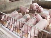 Thị trường - Tiêu dùng - Giá lợn hơi rớt mạnh do Trung Quốc hạn chế nhập khẩu