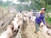 """Thị trường - Tiêu dùng - Lợn hơi HN rớt giá: Người nuôi lao đao vì chạy theo """"sốt ảo"""""""
