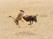 Thế giới - Ngoạn mục cảnh báo gấm tung đòn với linh dương đầu bò