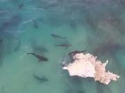 Thế giới - Video: 40 cá mập cắn xé xác cá voi khổng lồ