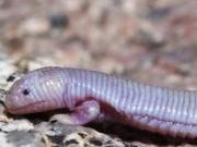 Phi thường - kỳ quặc - Sinh vật kì dị đầu thằn lằn mình chuột chũi