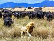 """Thế giới - Trâu rừng hợp sức truy đuổi sư tử chạy """"té khói"""""""