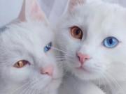 """Phi thường - kỳ quặc - Cặp mèo đẹp """"siêu thực"""" với tỉ lệ xuất hiện 1/1 triệu"""