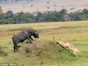 Thế giới - Trâu rừng một mình đánh đuổi 2 sư tử chạy không kịp thở