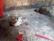 Tin tức trong ngày - Xác chim phóng sinh nằm la liệt sau lễ Vu Lan