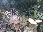 An ninh Xã hội - Bắt nhiều đối tượng quan trọng trong vụ phá rừng pơ mu