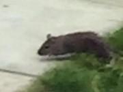 Phi thường - kỳ quặc - Hãi hùng chuột to như chó xâm chiếm sân vườn