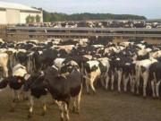 """Phi thường - kỳ quặc - Bể phốt """"xông hơi"""" giết 1 nông dân và 16 con bò"""