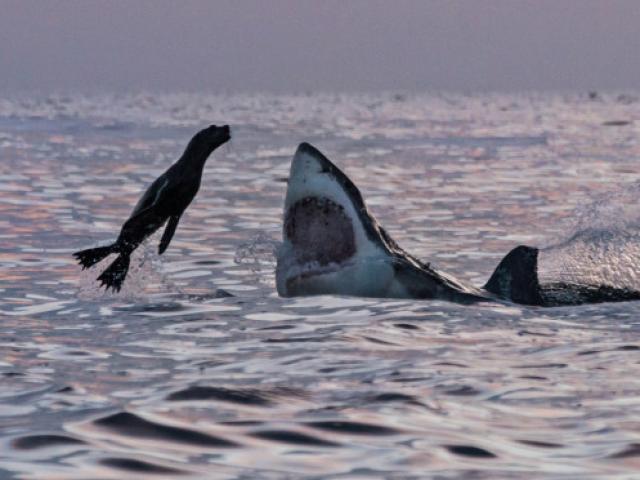 """Hải cẩu """"số nhọ"""" nhảy đúng vào hàm cá mập khổng lồ"""