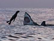 """Phi thường - kỳ quặc - Hải cẩu """"số nhọ"""" nhảy đúng vào hàm cá mập khổng lồ"""