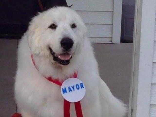 Nơi người dân bầu chó làm thị trưởng suốt 3 nhiệm kì