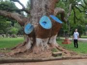 Tin tức trong ngày - Cưa cây di sản vì... sợ lây bệnh