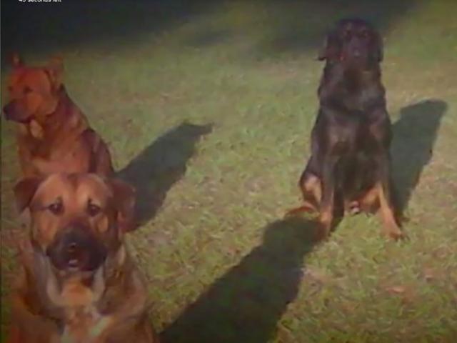 Mỹ: Kinh hoàng đàn chó tấn công, ăn thịt ông cụ 83 tuổi
