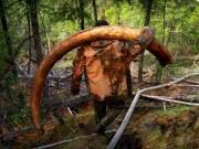 Thế giới - Thâm nhập thế giới ngầm đào ngà voi ma mút đi bán ở Nga
