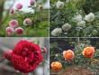 Choáng với vườn hồng đẹp như tây ở ngoại ô Hà Nội