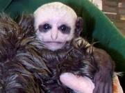Phi thường - kỳ quặc - Khỉ mới sinh có khuôn mặt như Chúa tể hắc ám