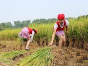 Bạn trẻ - Cuộc sống - Nữ tiếp viên hàng không TQ đi giày cao gót gặt lúa