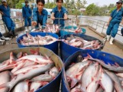 Thị trường - Tiêu dùng - Thương lái TQ gian manh, người dân nuôi cá tra điêu đứng