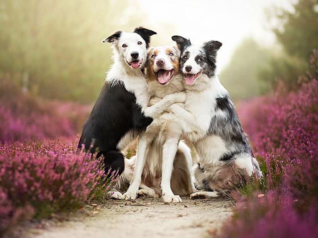 3 chú chó chụp ảnh thơ mộng giữa cánh đồng hoa