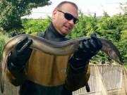 Anh: Cá chình khổng lồ bơi 5.600 km để tìm chỗ ở