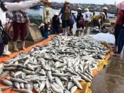 Tin tức trong ngày - Gần 50 tấn cá lồng chết bất thường ở Thanh Hóa