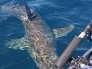 Thế giới - Úc: Cá mập trắng tấn công thuyền câu, cắn nát động cơ