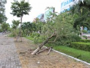 Tin tức trong ngày - Không hứng bão, hàng loạt cây xanh ở Đà Nẵng vẫn đổ gục