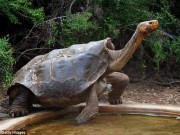 Thế giới - Cụ rùa khổng lồ 100 tuổi đẻ 800 con tràn ngập đảo