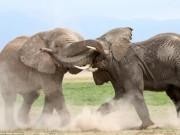 Thế giới - Voi già mất ngà quyết chiến voi trẻ bảo vệ ngôi đầu đàn