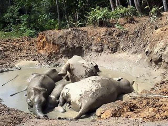 Tính nhầm độ sâu hố bùn, 7 voi lùn chết thảm