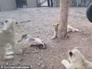 Chó con quyết chiến với 3 sư tử để bảo vệ thức ăn