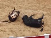Phi thường - kỳ quặc - Video: Húc nhau một cú sấm sét, hai bò tót lăn quay chết thẳng cẳng
