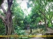 Du lịch - Lạc giữa rừng thị cổ Đồ Sơn mùa quả chín