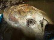 Thế giới - Phát hiện cá ngừ khổng lồ như cá mập trôi sông ở Anh