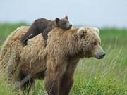 Bạn trẻ - Cuộc sống - Học hỏi được gì từ cách dạy con của loài gấu